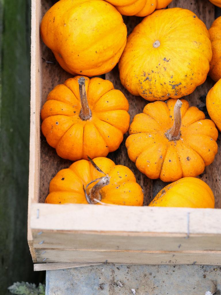 Les jack be little avec leurs robes oranges sublimes