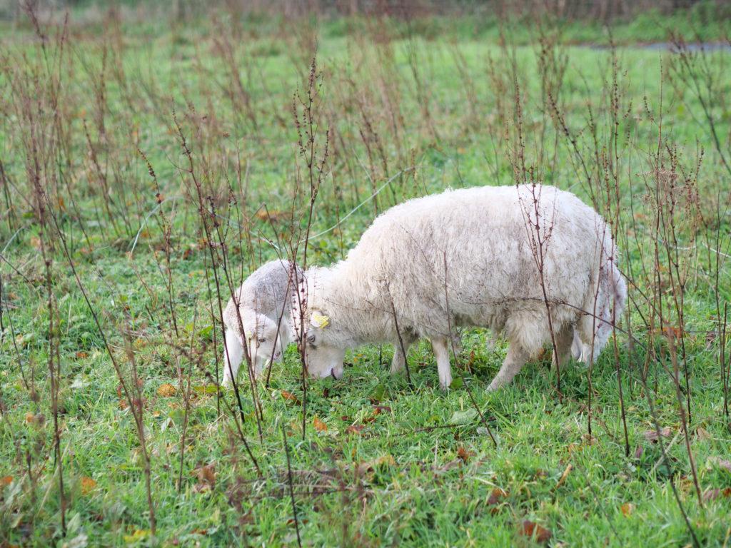 C'est la période des agnelages en hiver.