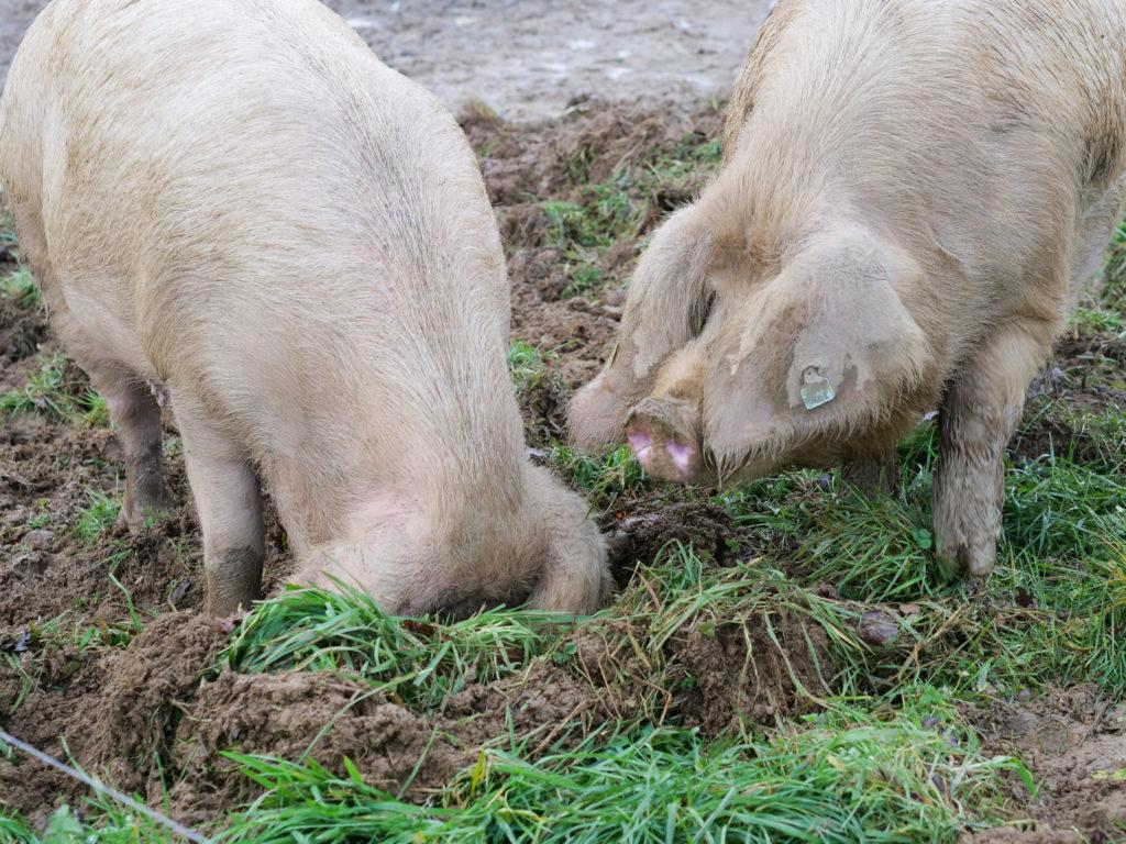 Le porc blanc fouille le sol avec son groin